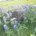 photo of Bobo enjoying meadow flowers