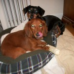 photo of Puppy mill survivors Maxine and Reggie, Mother and Son