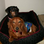 another photo of Maxine and Reggie, heartworm positive puppymill dogs